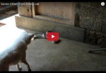 cane difende gattino