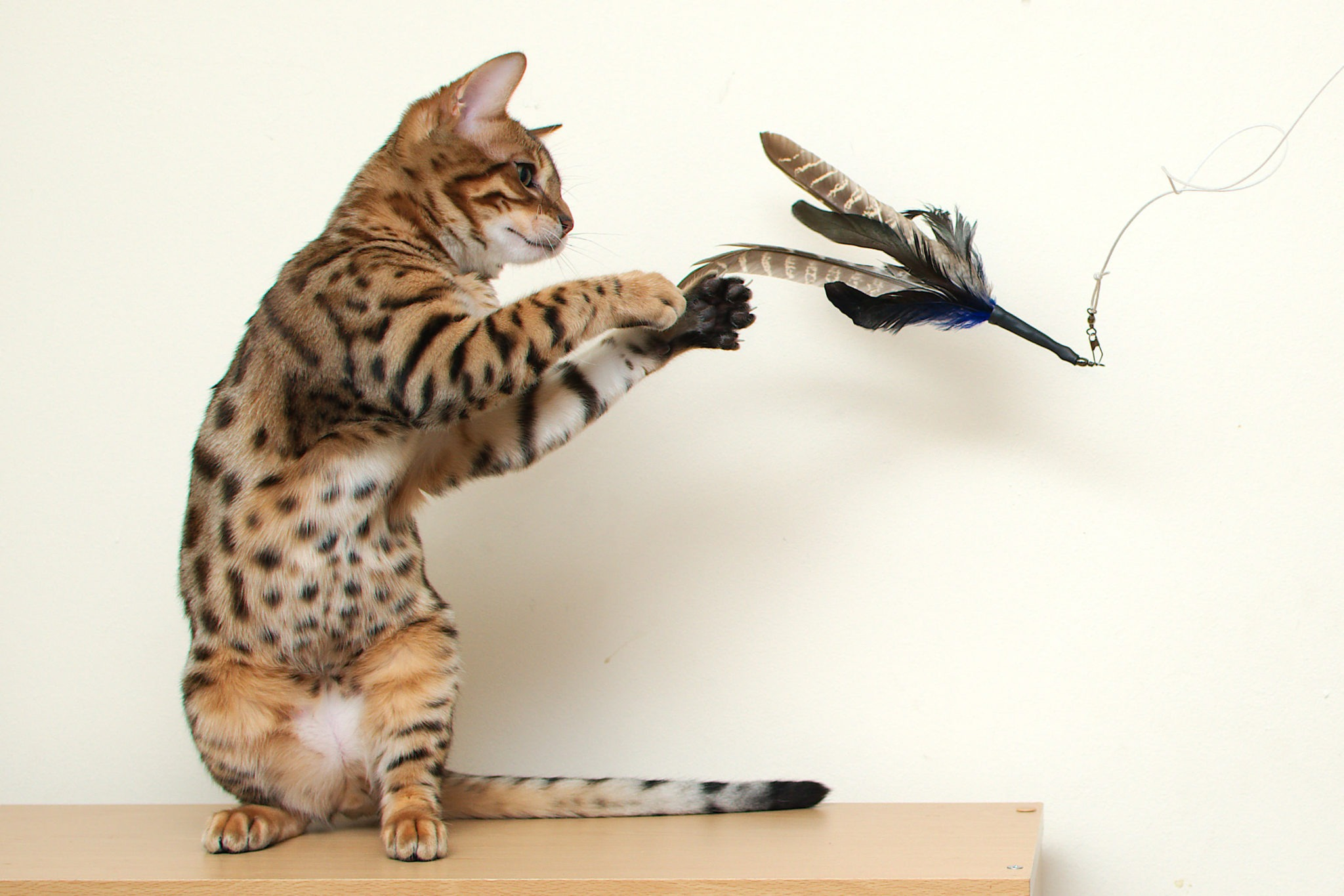 Animals___Cats__Young_Bengal_cat_playing_044840_