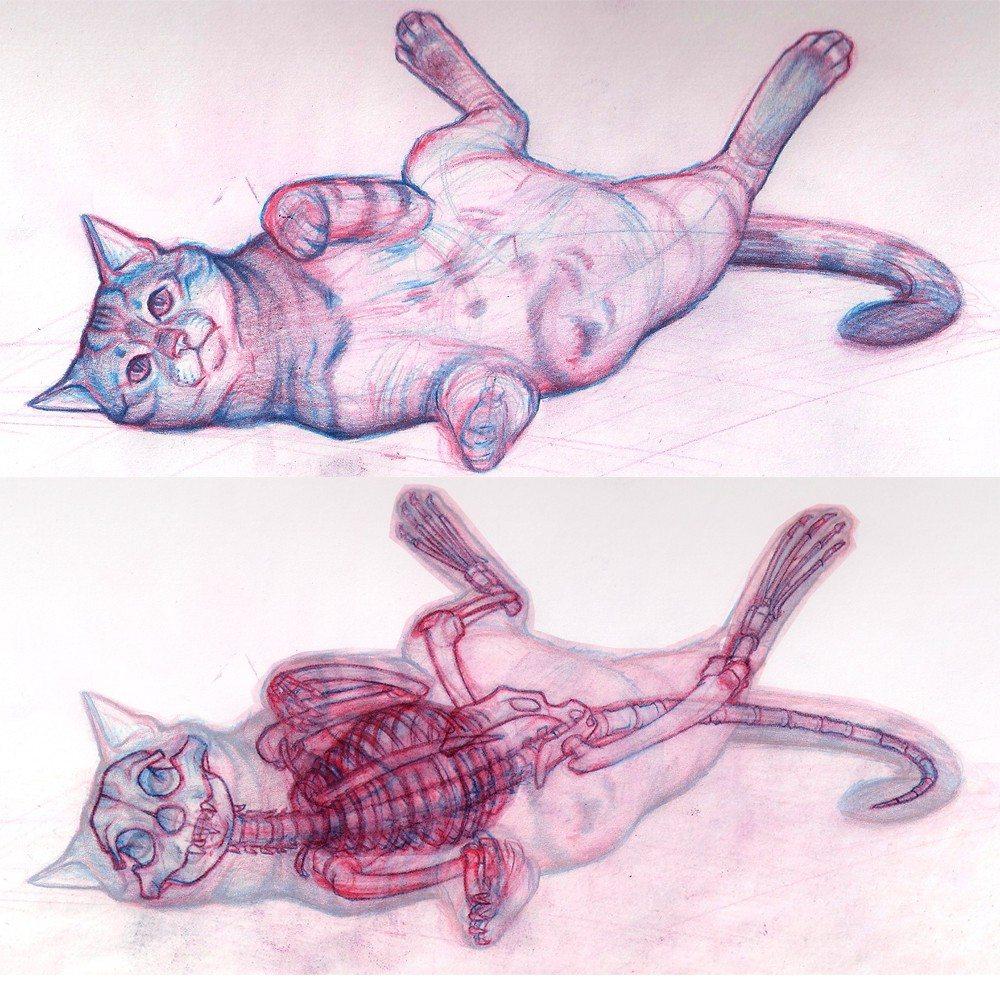 Scheletro e muscoli del gatto