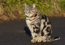 Gatto indossa un cracker GPS