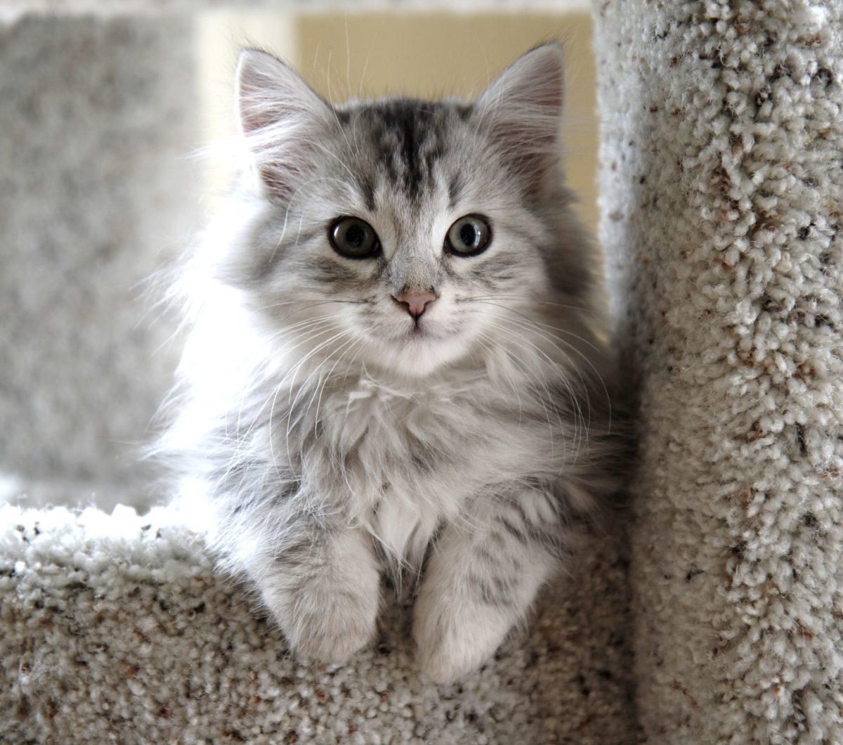 Gattino Siberiano