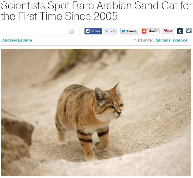 Avvistato dopo anni il raro Gatto della sabbia arabo