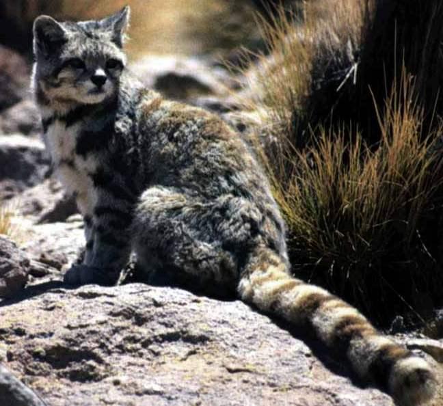 Gatto delle Ande