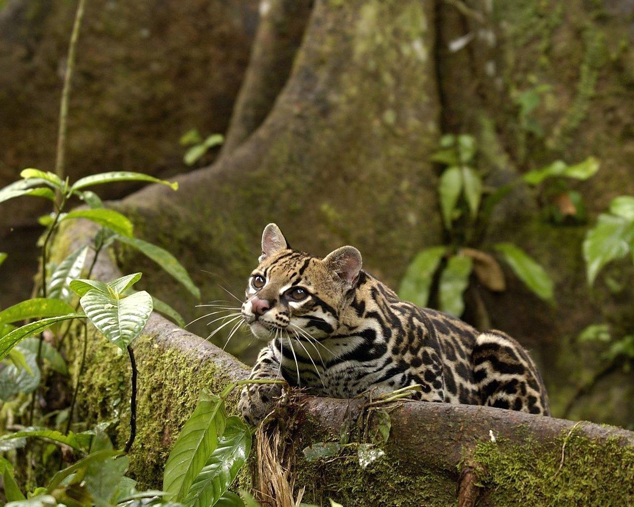 L'areale del gatto Ocelot va dal Texas all'isola di Trinidad, passando dal Messico all'America Centrale