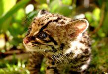 Dopo vent'anni, scoperti gatti Ocelot selvatici nel South Texas