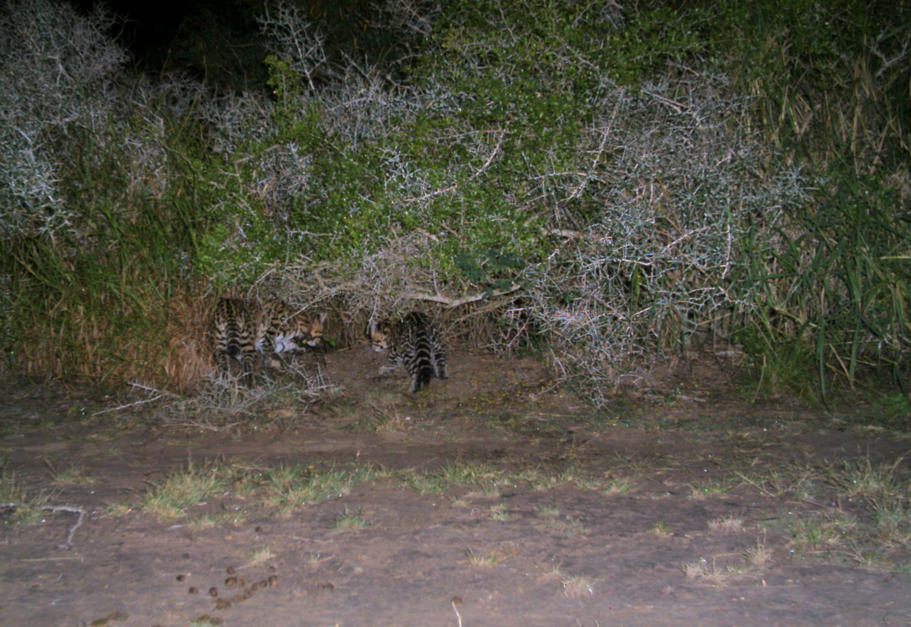 Una femmina di Ocelot con i suoi piccoli