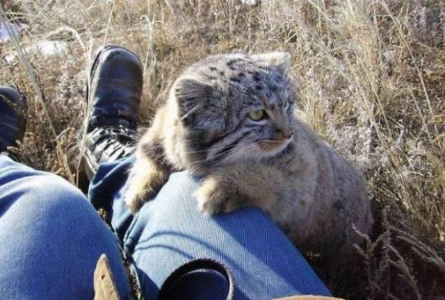 Uno dei quattro gatti di pallas trovati dal contadino russo