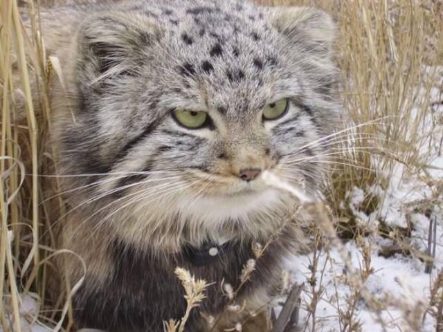 Ormai cresciuti, i quattro gatti di pallas sono ora pronti per essere reimmessi nel loro habitat naturale