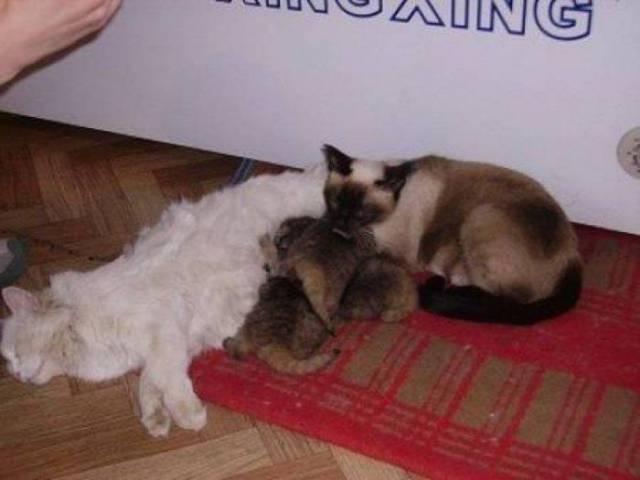 I piccoli gatti di Pallas hanno trovato l'amore di due gatti domestici come loro genitori adottivi