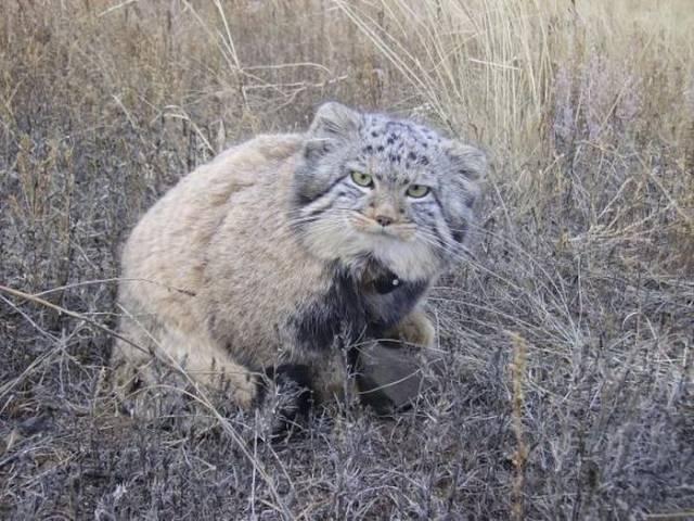 Uno dei quattro gatti di Pallas, originario dell'Asia centrale
