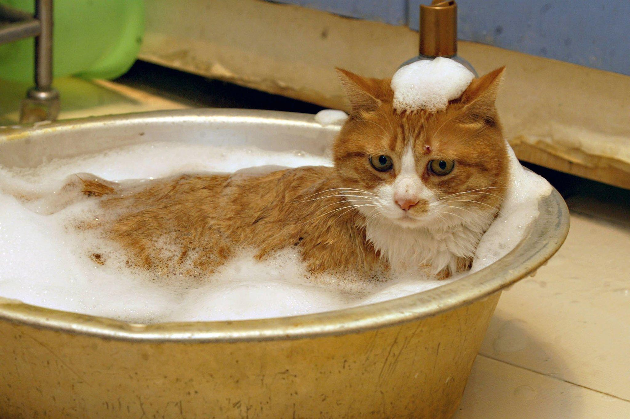 Un gatto rosso fa il bagno