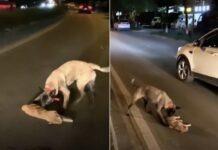 cane cerca di rianimare gatto investito