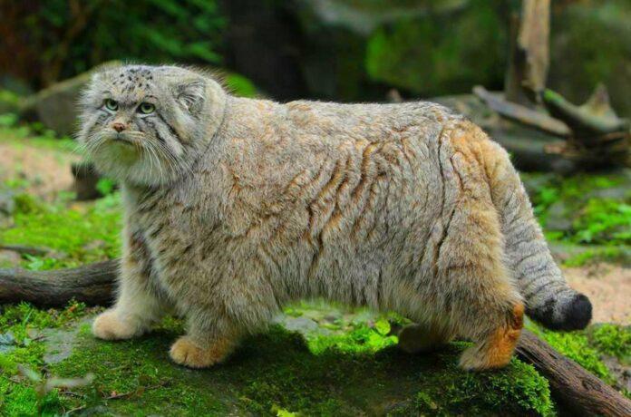 gatto-di-pallas-mongolia