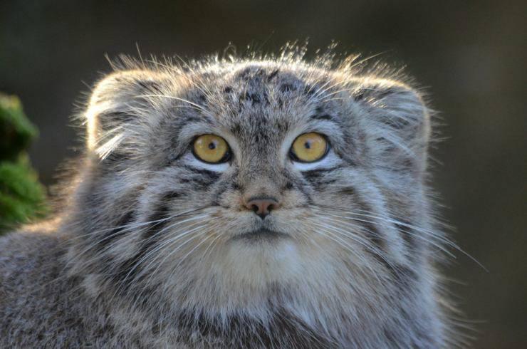 gatto-di-pallas-ricerca
