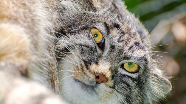 gatto-di-pallas-rischio-estinzione