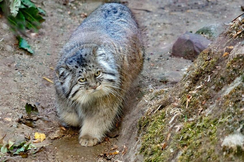 gatto-pallas